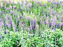 ομάδα πορφυρού λουλουδιού Angelonia Στοκ Εικόνες