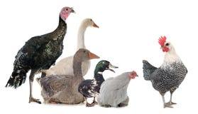 Ομάδα πουλερικών στοκ εικόνα με δικαίωμα ελεύθερης χρήσης