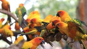 Ομάδα πουλιών παπαγάλων Conure ήλιων σχετικά με τον κλάδο δέντρων φιλμ μικρού μήκους