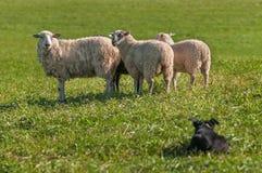 Ομάδα προβάτων Ovis aries πολύ από που προσέχει το σκυλί αποθεμάτων Στοκ εικόνα με δικαίωμα ελεύθερης χρήσης