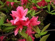 Ομάδα ρόδινων λουλουδιών άνοιξη Στοκ εικόνα με δικαίωμα ελεύθερης χρήσης