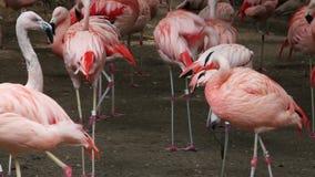 Ομάδα ρόδινων φλαμίγκο στο ζωολογικό κήπο απόθεμα βίντεο