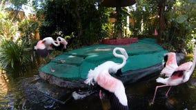 Ομάδα ρόδινων φλαμίγκο στο ζωολογικό κήπο φιλμ μικρού μήκους