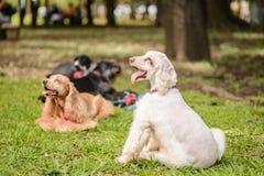 Ομάδα σκυλιών σπανιέλ κόκερ Στοκ εικόνα με δικαίωμα ελεύθερης χρήσης
