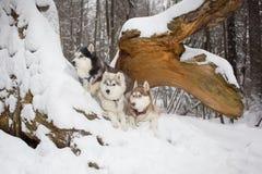 Ομάδα σκυλιών στα χειμερινά ξύλα Γεροδεμένος Στοκ Εικόνες