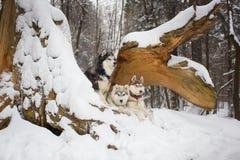Ομάδα σκυλιών χιονώδη δασικό σε έναν γεροδεμένο Στοκ εικόνες με δικαίωμα ελεύθερης χρήσης