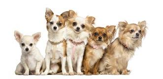 Ομάδα συνεδρίασης Chihuahua Στοκ Εικόνες