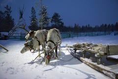 Ομάδα ταράνδων της Sami στην πολική νύχτα σκηνών της Sami Στοκ Εικόνες