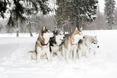Ομάδα τεσσάρων σκυλιών στις κλίσεις χιονιού Γεροδεμένος Ηλικία 3 έτη Στοκ Εικόνα