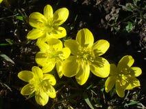 Ομάδα χειμώνας τοπ άποψη λουλουδιών ακόνιτο του †« Στοκ εικόνες με δικαίωμα ελεύθερης χρήσης