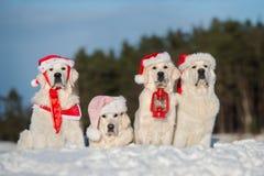 Ομάδα χρυσών retriever σκυλιών που θέτουν υπαίθρια το χειμώνα Στοκ Εικόνες