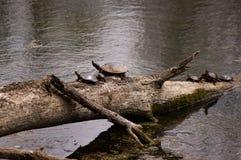 Ομάδα χρωματισμένων χελωνών Στοκ φωτογραφία με δικαίωμα ελεύθερης χρήσης