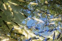 Ομάδα ψαριών στους καταρράκτες Krka, κροατικό εθνικό πάρκο Στοκ εικόνα με δικαίωμα ελεύθερης χρήσης