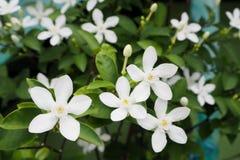 Ομάδα όμορφου άσπρου Snowflake λουλουδιού Στοκ εικόνες με δικαίωμα ελεύθερης χρήσης