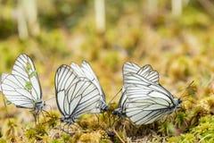 Ομάδα όμορφων μαύρος-φλεβώών άσπρων cratae Aporia πεταλούδων Στοκ φωτογραφία με δικαίωμα ελεύθερης χρήσης