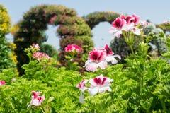 Ομάδα όμορφων λουλουδιών domesticum πελαργονίων Στοκ Εικόνα