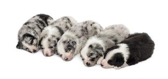 Ομάδα ύπνου κουταβιών διασταύρωσης που απομονώνεται στο λευκό Στοκ Εικόνες