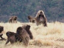 Ομάδα baboons Gelada, gelada Theropithecus, στην Αιθιοπία Στοκ φωτογραφία με δικαίωμα ελεύθερης χρήσης