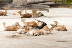 Ομάδα cervicapra Antilope blackbucks Στοκ φωτογραφίες με δικαίωμα ελεύθερης χρήσης