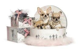 Ομάδα Chihuahua σε ένα κιβώτιο ενδυμάτων, που απομονώνεται Στοκ Φωτογραφίες