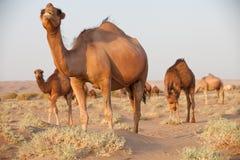 Ομάδα dromedary καμήλας στο Ιράν Στοκ Εικόνες