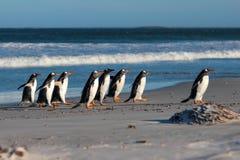 Ομάδα Gentoo Penguins (Pygoscelis Παπούα) στην παραλία Στοκ Εικόνες