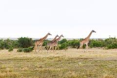 Ομάδα giraffes που περπατά κατά μήκος της σαβάνας στην Αφρική Στοκ εικόνα με δικαίωμα ελεύθερης χρήσης