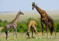 Ομάδα giraffes στη σαβάνα Κένυα Τανζανία ανατολικό maasai Μάρτιος χορού της Αφρικής 5 2009 που εκτελεί τον του χωριού πολεμιστή τ Στοκ Φωτογραφία