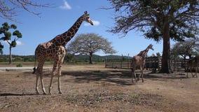 Ομάδα giraffes Rothschild απόθεμα βίντεο
