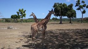 Ομάδα giraffes Rothschild φιλμ μικρού μήκους