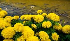 Ομάδα Marigold Στοκ Εικόνες
