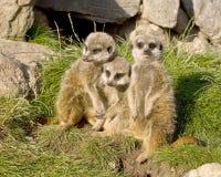 Ομάδα meerkats Στοκ φωτογραφία με δικαίωμα ελεύθερης χρήσης