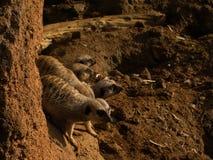 Ομάδα Meerkats στοκ εικόνα