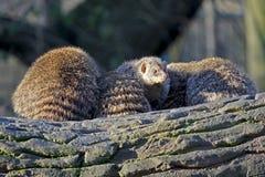 Ομάδα mongoose στοκ φωτογραφία