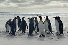 Ομάδα penguins, που πηγαίνει από την άσπρη άμμο στη θάλασσα, αρτικά ζώα στο βιότοπο φύσης, σκούρο μπλε ουρανός, Νήσοι Φώκλαντ Sc  Στοκ εικόνα με δικαίωμα ελεύθερης χρήσης