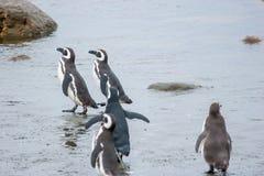 Ομάδα penguins στην ακτή στη Χιλή Στοκ εικόνα με δικαίωμα ελεύθερης χρήσης