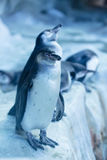 Ομάδα pinguins ζωολογικός κήπος της Ρωσίας, Μόσχα Στοκ Εικόνες