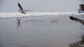 Ομάδα Seagulls που βουτούν και που παλεύουν για τα τρόφιμα πάγος-καλυμμένη στη χειμώνας θάλασσα κίνηση αργή φιλμ μικρού μήκους