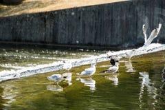 Ομάδα seagulls που στην πηγή υπαίθρια Στοκ Φωτογραφίες