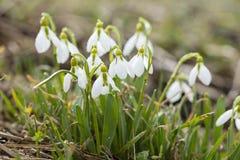 Ομάδα snowdrops στη θερινή ημέρα Στοκ Εικόνες