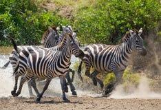 Ομάδα zebras που τρέχει πέρα από το νερό Κένυα Τανζανία Εθνικό πάρκο serengeti Maasai Mara στοκ φωτογραφίες