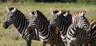 Ομάδα Zebras στη σαβάνα Κένυα Τανζανία Εθνικό πάρκο serengeti Maasai Mara στοκ εικόνα