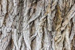 Δομή ενός παλαιού φλοιού σφενδάμνου Στοκ φωτογραφίες με δικαίωμα ελεύθερης χρήσης
