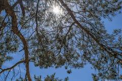 Ομίχλη ξημερωμάτων με την ανατολή πίσω από τα δέντρα στο δάσος Στοκ εικόνα με δικαίωμα ελεύθερης χρήσης