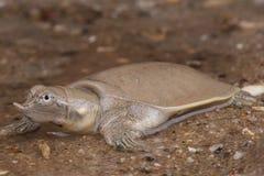 ομαλή χελώνα softshell Στοκ Εικόνες