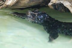 Ομαλός-αντιμετωπισμένος caiman στοκ φωτογραφία με δικαίωμα ελεύθερης χρήσης