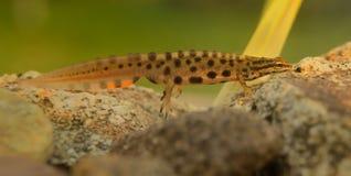 Ομαλό Newt στοκ εικόνες