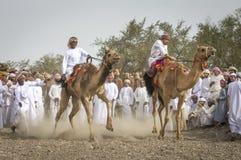 Ομανικά άτομα που παίρνουν έτοιμα να συναγωνιστεί τις καμήλες τους σε μια σκονισμένη χώρα στοκ φωτογραφία με δικαίωμα ελεύθερης χρήσης