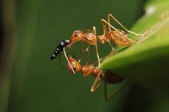 Ομαδική εργασία των μυρμηγκιών Στοκ εικόνα με δικαίωμα ελεύθερης χρήσης