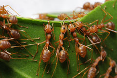 Ομαδική εργασία των μυρμηγκιών Στοκ φωτογραφία με δικαίωμα ελεύθερης χρήσης